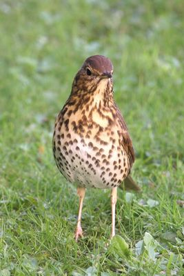 Song Thrush photographed at St Martin (Parish) on 22/11/2013. Photo: © Jay Friend