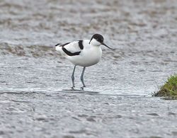 Avocet photographed at Colin Best NR [CNR] on 21/11/2013. Photo: © Mike Cunningham