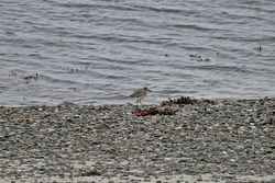 Grey Plover photographed at Rocquaine [ROC] on 25/11/2013. Photo: © Jay Friend