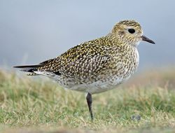 Golden Plover photographed at Fort Doyle on 1/12/2013. Photo: © Rock Dweller