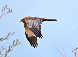 Marsh Harrier photographed at Rue des Bergers [BER] on 10/12/2013. Photo: © Mike Cunningham