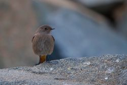 Black Redstart photographed at Jaonneuse [JAO] on 18/12/2013. Photo: © Dan Scott