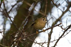 Goldcrest photographed at Rue des Bergers [BER] on 19/12/2013. Photo: © Dan Scott