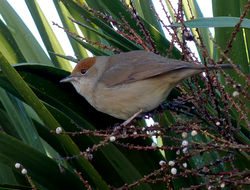Blackcap photographed at Les Effards, STS [EFF] on 26/12/2013. Photo: © Mark Lawlor