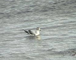Little Gull photographed at Shingle Bank [SHI] on 28/12/2013. Photo: © Mark Guppy