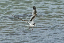 Little Gull photographed at Shingle Bank [SHI] on 28/12/2013. Photo: © Anthony Loaring