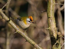 Firecrest photographed at Rue des Bergers [BER] on 2/1/2014. Photo: © Dan Scott