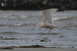 Glaucous Gull photographed at Grandes Havres [GHA] on 2/1/2014. Photo: © Dave Andrews