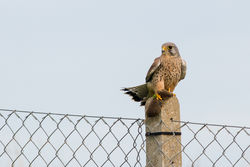 Kestrel photographed at Mont Cuet [CUE] on 2/1/2014. Photo: © Rod Ferbrache