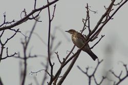 Redwing photographed at St Martin (Parish) on 2/1/2014. Photo: © Jay Friend