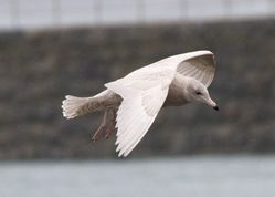 Glaucous Gull photographed at Castle Cornet [CAS] on 5/1/2014. Photo: © Cindy  Carre