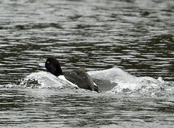 Tufted Duck photographed at Gallotin Quarry [GAL] on 5/1/2014. Photo: ©  Rockdweller