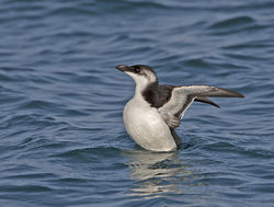 Razorbill photographed at Castle Cornet [CAS] on 6/1/2014. Photo: © Mike Cunningham