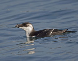 Razorbill photographed at St Peter Port Harbour on 10/1/2014. Photo: © Mike Cunningham