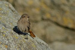 Black Redstart photographed at Rousse [ROU] on 14/1/2014. Photo: © Simon Murfitt