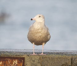Glaucous Gull photographed at Town Harbour [TOW] on 15/1/2014. Photo: © Karen Jehan