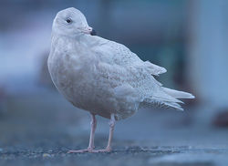 Glaucous Gull photographed at St Peter Port [SPP] on 16/1/2014. Photo: © Chris Bale