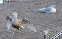 Glaucous Gull photographed at St Peter Port [SPP] on 19/1/2014. Photo: ©  Rockdweller