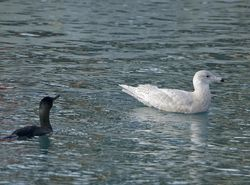Glaucous Gull photographed at St.Peter Port on 20/1/2014. Photo: © Royston Carr�