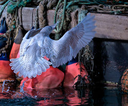 Glaucous Gull photographed at St Peter Port Harbour on 20/1/2014. Photo: © Mike Cunningham