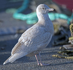 Glaucous Gull photographed at St Peter Port [SPP] on 22/1/2014. Photo: © Mike Cunningham