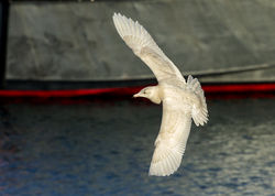 Glaucous Gull photographed at Town Harbour [TOW] on 19/1/2014. Photo: © Anthony Loaring