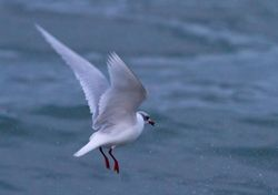 Mediterranean Gull photographed at Cobo [COB] on 30/1/2014. Photo: © Vic Froome