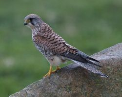 Kestrel photographed at Rousse [ROU] on 31/1/2014. Photo: © Cindy  Carre