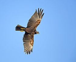 Marsh Harrier photographed at Rue des Bergers [BER] on 7/2/2014. Photo: © Mike Cunningham