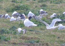 Glaucous Gull photographed at Chouet Refuse Tip [CH2] on 15/2/2014. Photo: © Kevin Childs