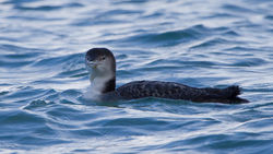 Great Northern Diver photographed at Town Harbour [TOW] on 15/2/2014. Photo: © Dan Scott