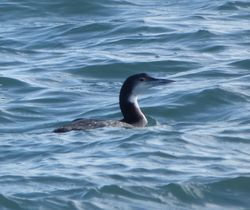 Great Northern Diver photographed at Belle Greve Bay [BEL] on 16/2/2014. Photo: © Mark Guppy