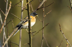 Brambling photographed at Trinity [TRI] on 21/2/2014. Photo: © Anthony Loaring