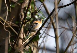 Brambling photographed at Pleinmont [PLE] on 21/2/2014. Photo: © Vic Froome