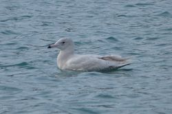 Glaucous Gull photographed at Town Harbour [TOW] on 23/2/2014. Photo: © Mark Guppy