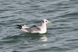Kittiwake photographed at Salerie Corner [SAL] on 23/2/2014. Photo: © Andy Marquis