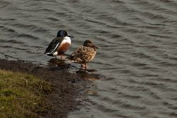 Shoveler photographed at Vale Pond [VAL] on 25/2/2014. Photo: © Jay Friend