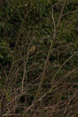 Greenfinch photographed at Rue des Bergers [BER] on 25/2/2014. Photo: © Jay Friend