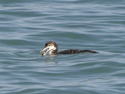 Great Northern Diver photographed at Havelet [HAV] on 5/3/2014. Photo: © Royston Carr�