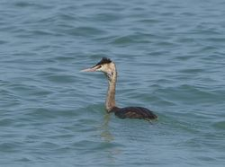 Great Crested Grebe photographed at Havelet [HAV] on 5/3/2014. Photo: © Royston Carr�