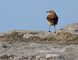 Wheatear photographed at Pulias [PUL] on 10/3/2014. Photo: © Mark Lawlor