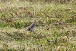 Richard's Pipit photographed at Pleinmont [PLE] on 15/3/2014. Photo: © Mark Guppy
