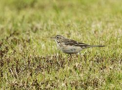 Richard's Pipit photographed at Pleinmont [PLE] on 15/3/2014. Photo: © Anthony Loaring