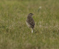 Richard's Pipit photographed at Pleinmont [PLE] on 15/3/2014. Photo: © Karen Jehan