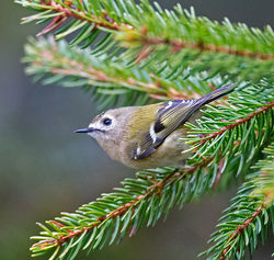 Goldcrest photographed at St Peter Port [SPP] on 17/3/2014. Photo: © Mike Cunningham