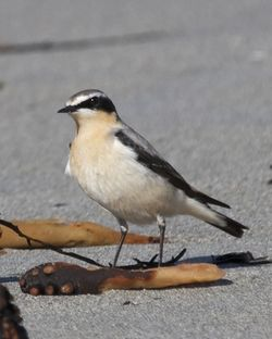 Wheatear photographed at Jaonneuse [JAO] on 18/3/2014. Photo: © Cindy  Carre