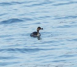 Black-necked Grebe photographed at Perelle [PER] on 19/3/2014. Photo: © Anthony Loaring