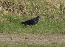 Rook photographed at Pleinmont [PLE] on 21/3/2014. Photo: © Karen Jehan