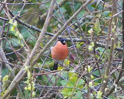 Bullfinch photographed at Rue des Bergers [BER] on 18/3/2014. Photo: © Royston Carr�