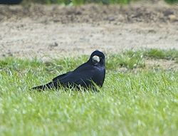 Rook photographed at Pleinmont [PLE] on 24/3/2014. Photo: © Royston Carr�